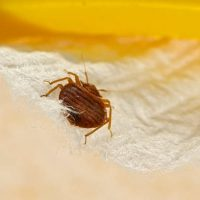 bed bug diy