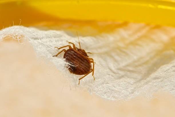 bed bug diy