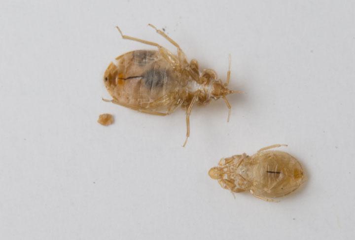 bed bug casings