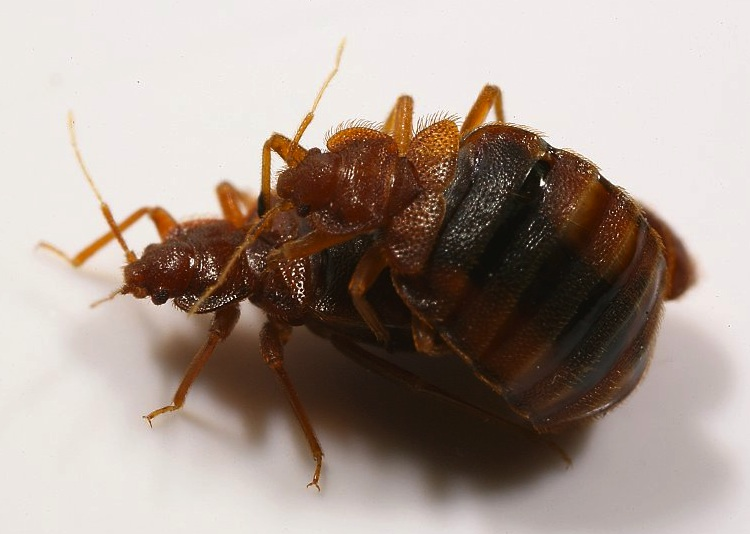 mating bed bugs