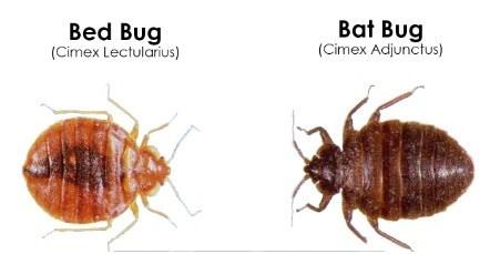 different bed bug species